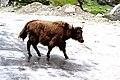 A young yak AJTJ.jpg