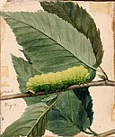 Abbott Handerson Thayer - Lunar Caterpillar, study for book Concealing Coloration in the Animal Kingdom - 1950.2.18B - Smithsonian American Art Museum.jpg