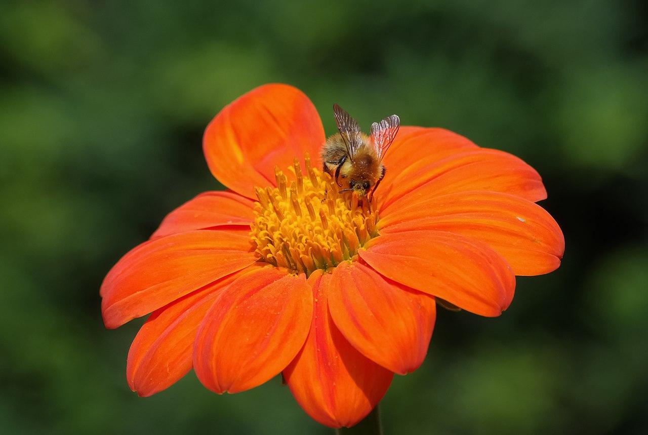 file abeille sur une fleur wikimedia commons. Black Bedroom Furniture Sets. Home Design Ideas