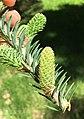 Abies balsamea (Balsam Fir) (29010602888).jpg