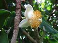 Abricot des Antilles 02.JPG