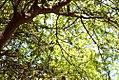 Acacia-oviedoensis-(4).jpg