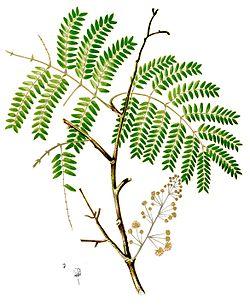 Acacia Concinna Wikipédia A Enciclopédia Livre