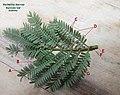 Acacia karroo bipinnate leaf IMG 2153a.jpg