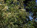 Acacia mearnsii (6363594859).jpg