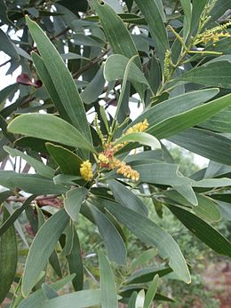 Acacia spirorbis fleur feuille