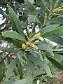 Acacia spirorbis fleur feuille.jpg