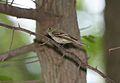 Acadian Flycatcher (Empidonax virescens) (4687322267).jpg