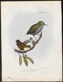Acanthisitta chloris - 1845-1848 - Print - Iconographia Zoologica - Special Collections University of Amsterdam - UBA01 IZ19200343.tif