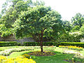 Acer griseum - Arboretum Gaston Allard.jpg