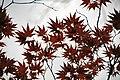 Acer palmatum (Japanese maple tree) 1 (49044529036).jpg