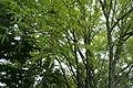 Acer pentaphyllum kz04.jpg