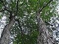 Acer rubrum 14zz.jpg