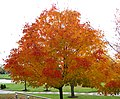 Acer saccharum (sugar maple tree in fall colors) (Newark campus of Ohio State University, Newark, Ohio, USA) (16 October 2014) 3 (31388575057).jpg