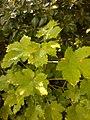 Acer sp. familija Sapindaceae 07.jpg