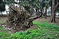 Acharya Jagadish Chandra Bose Indian Botanic Garden - Howrah 2011-02-20 1597.JPG