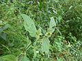 Achyranthes aspera Nepal 11.JPG