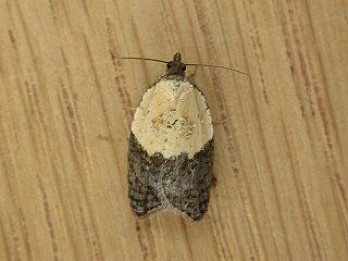 <i>Acleris variegana</i> Species of moth