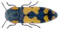 Acmaeodera louwi Holm, 1985.png