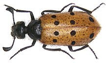 Actenodia distincta (Chevrolat, 1837) (3173134301).jpg