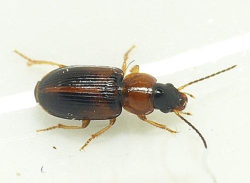 500px acupalpus flavicollis