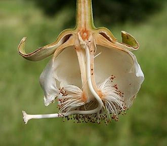 Adansonia digitata - Bisected flower