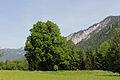 Admont-Krumau - Naturdenkmal 931 - Winterlinde (Tilia cordata) - III.jpg
