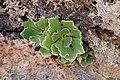 Aeonium smithii kz1.jpg