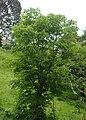 Aesculus flava kz01.jpg