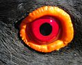 African Black Oystercatcher eye.jpg