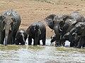 African Elephants (Loxodonta africana) drinking (8291632956).jpg
