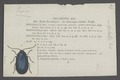 Agelastica - Print - Iconographia Zoologica - Special Collections University of Amsterdam - UBAINV0274 036 13 0002.tif