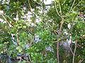 Aglaia odorata (DITSL).JPG