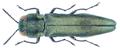 Agrilus derasofasciatus Boisduval & Lacordaire, 1835.png