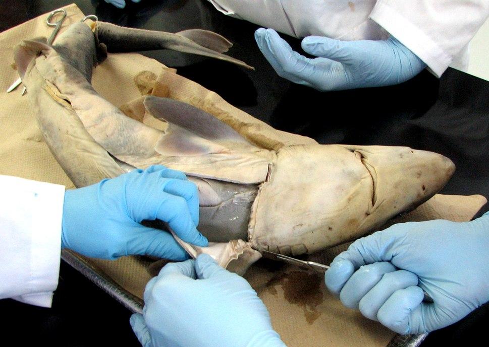 Aiguillat commun (dissection)