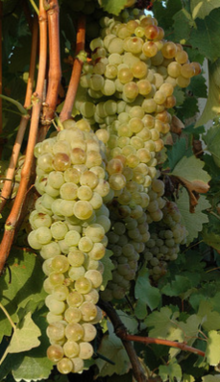 Albana grapes crop.png
