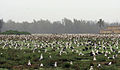 Albatross colony (6778224517).jpg