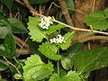Alliaria petiolata (14037633616).jpg