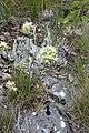 Allium albidum 02.jpg