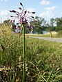 Allium carinatum subsp. carinatum sl10.jpg