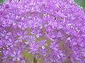 Allium giganteum0.jpg