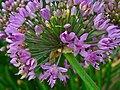 Allium lusitanicum 003.JPG