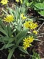 Allium moly HRM.jpg