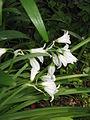 Allium triquetrum02.jpg