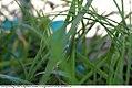 Allium tuberosum 4zz.jpg