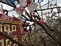 Almond Flower 04.JPG