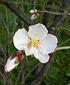 Almond blossom 2.jpg