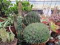 Aloe haworthioides (7000248814).jpg