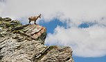 Alpine Ibex in Gornergrat 2.JPG