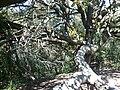 Alzina del Vent - Serra de l'Obac P1090251.jpg